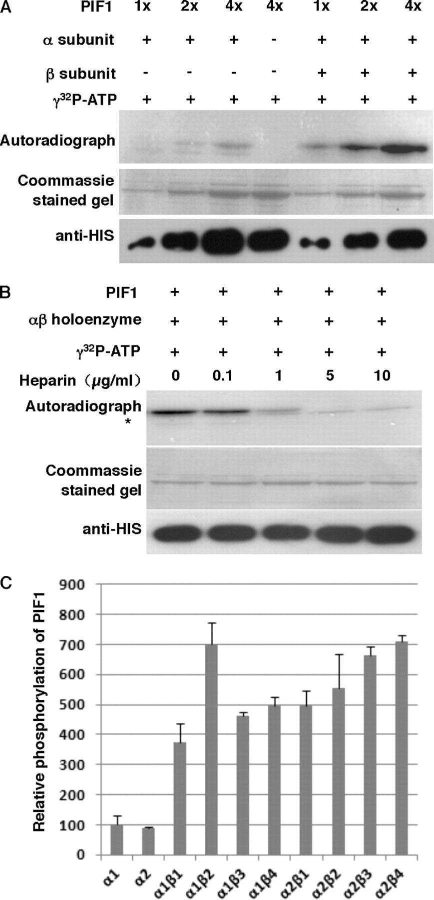 phosphorylation by ck2 enhances the