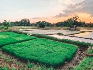 Elsa Cyril - secret rice field7