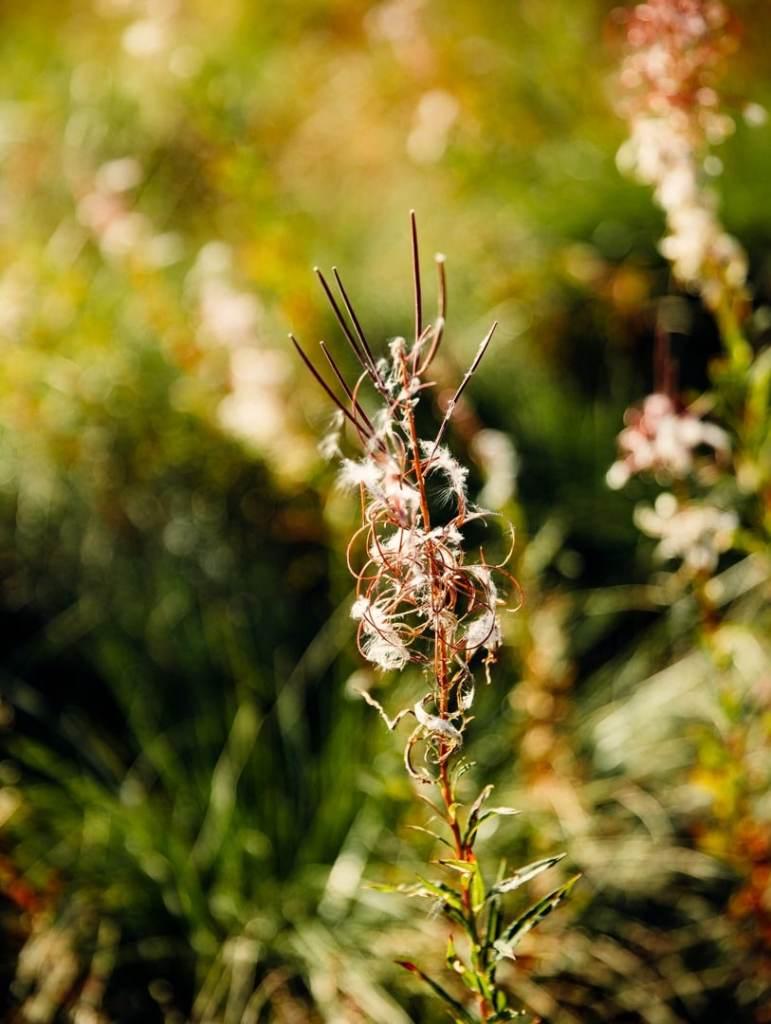 plante-lac-charpal