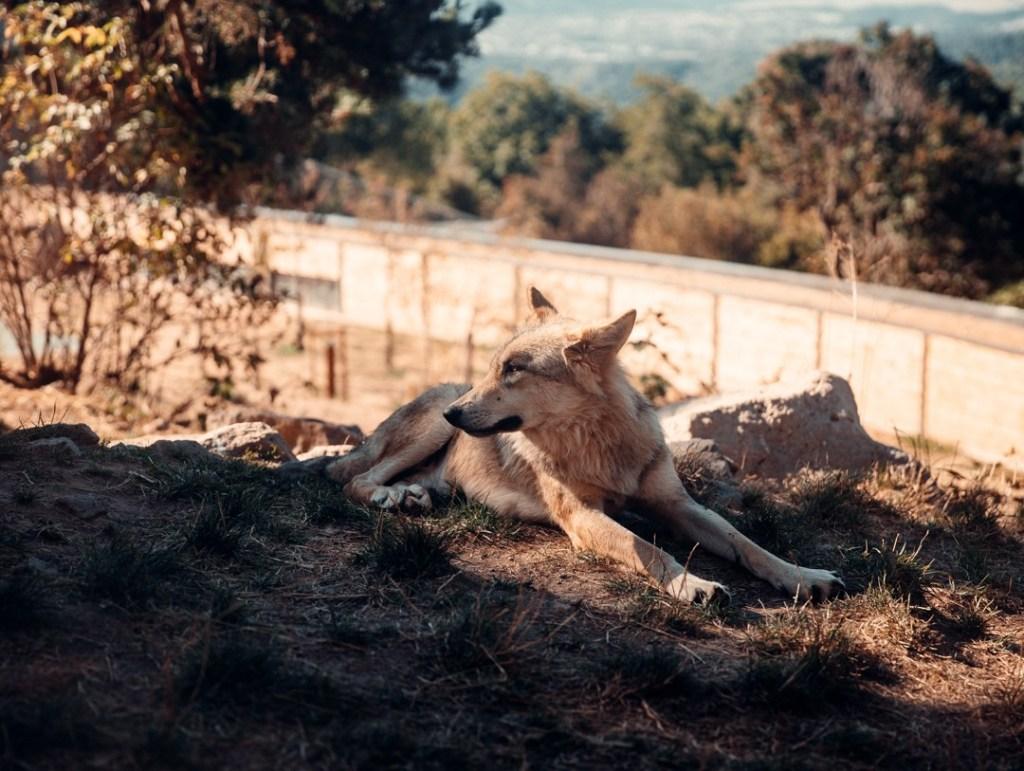 loup-dans-parc du Gévaudan