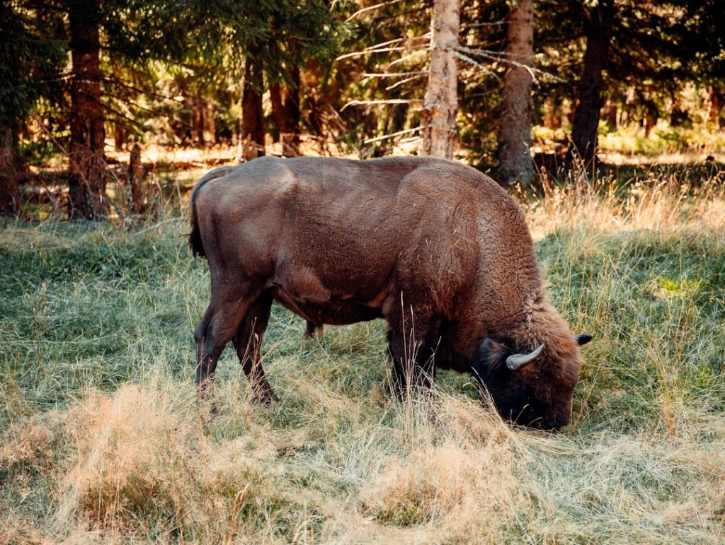 bison-europe-male