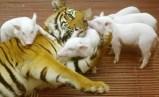 eacd1-tigresaycerdos