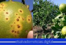 Gobierno a través del Ministerio de Agricultura, decreta emergencia por enfermedad que ataca a las plantaciones de cítricos.