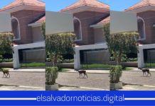 Venados se pasean por residenciales de El Salvador