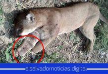 Matan y mutilan de manera macabra a un puma en San Fernando, Chalatenango