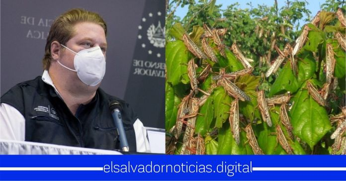 Gobierno interviene primer «brote» de plaga de langostas gigantes en territorio nacional