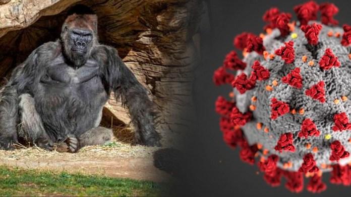El COVID-19 ha saltado a gorilas en el zoológico de San Diego, donde varios ejemplares dieron positivo al nuevo coronavirus
