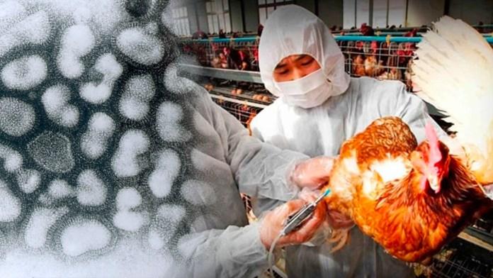 La india confirma un brote masivo de gripe aviar, luego de que en diferentes estados del país se siguen confirmando casos de la enfermedad
