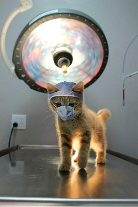 Gatito veterinario