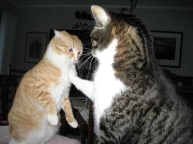 mis gatos no pueden estar juntos