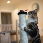 ¿Por qué mi gato araña los muebles?