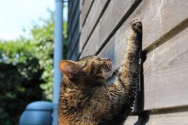Gato marcando su territorio con arañazos