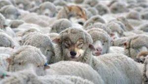 lobo entre ovejas