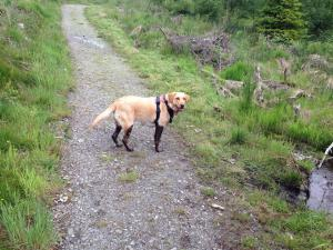 Yellow Labrador covered in mud up to hips