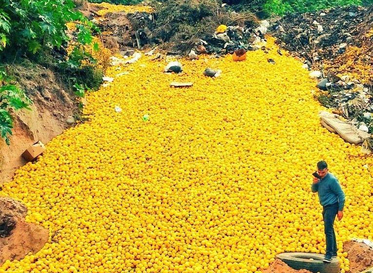 TUCUMAN: Descartan miles de toneladas de limón en terrenos baldíos de Las Talitas por falta de calidad para la exportación