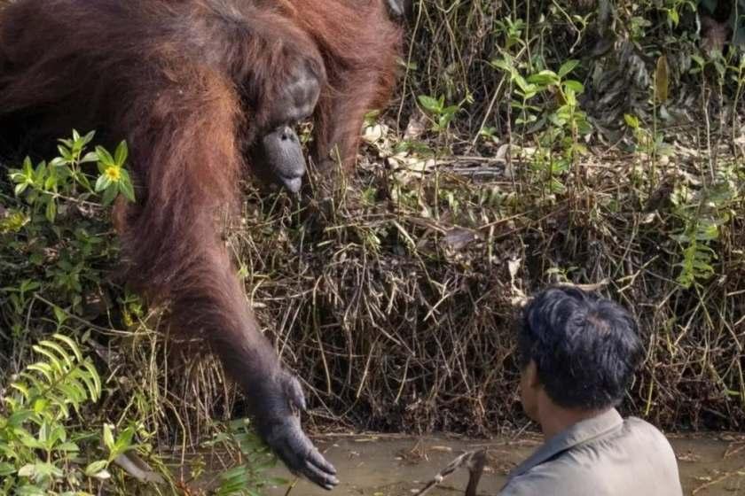 Asia: Un orangután se acercó a ayudar a un hombre que limpiaba el río