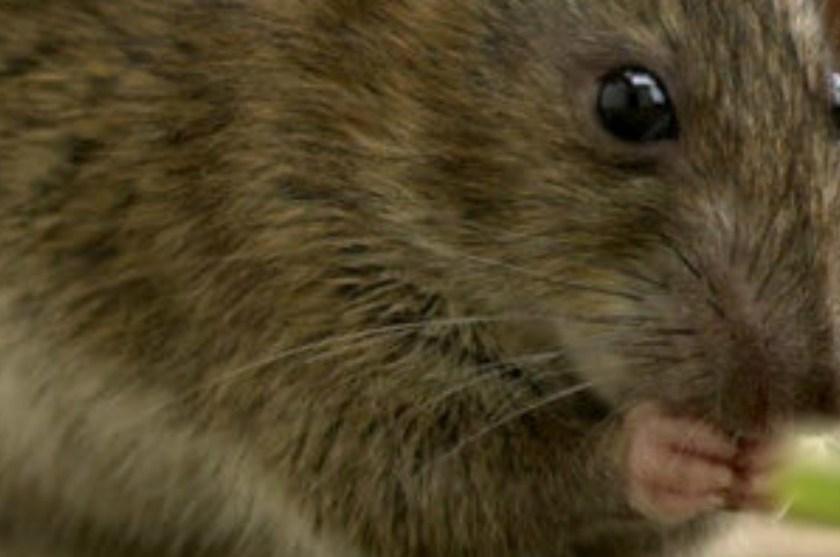 ALERTA: Al menos 11 personas en Hong Kong se infectan con una nueva cepa de la hepatitis E transmitida por ratas y nadie sabe cómo