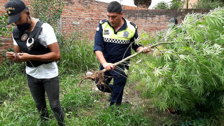 Villa Carmela: Secuestran una importante plantación de marihuana