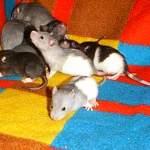 significado de soñar con ratas