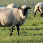 significado de soñar con oveja