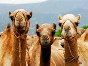 significado de soñar con un camello