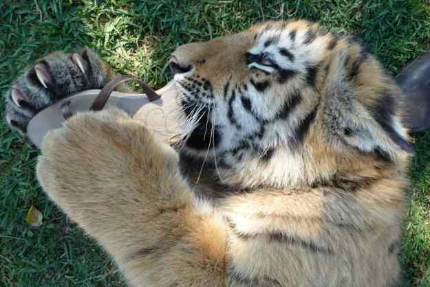 sueños con tigres pequeños