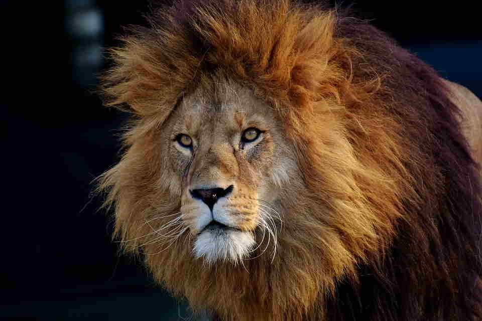 Soñar con leon que ataca