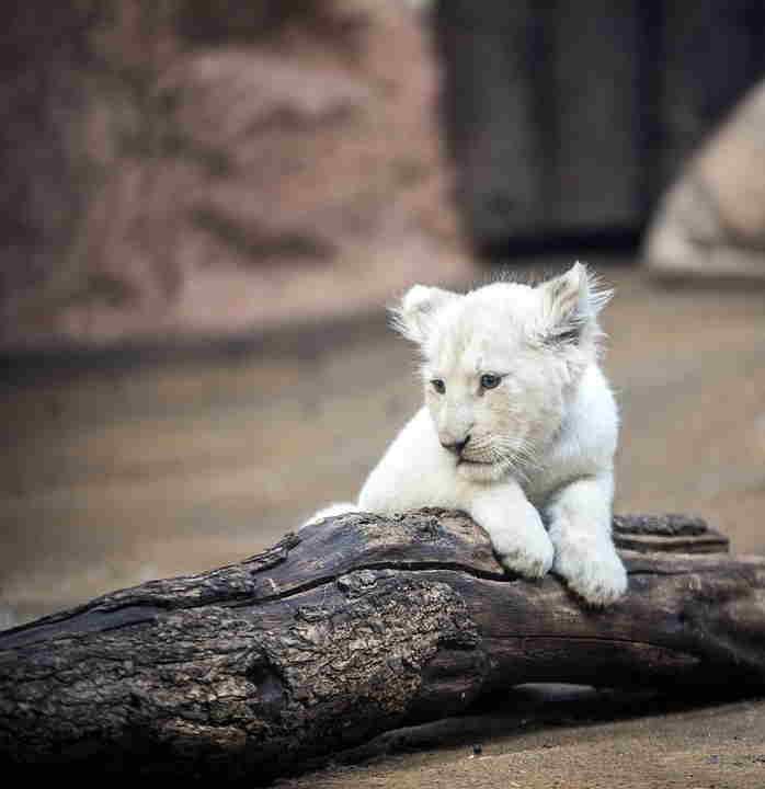 sueños con leon albino