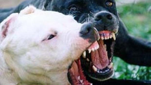 Puerto Plata: Niño es atacado por tres perros Pitbull