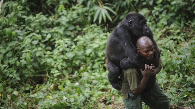 Alan Goodall, biólogo experto en gorilas, cree que estos están demasiado habituados a los seres humanos. Foto cortesía