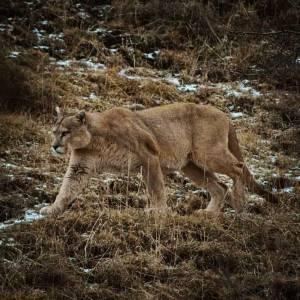 El Puma en Torres del Paine