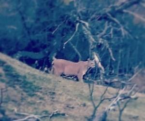 Cuando sabes que has llegado a Patagonia una referencia es el puma