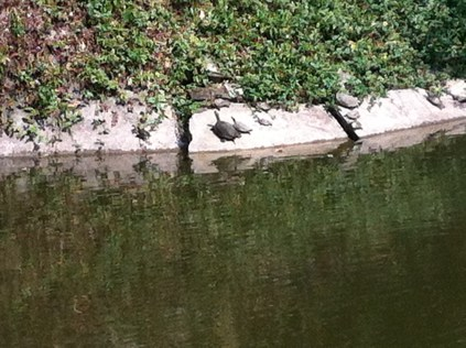 turtles sun themselves beside the water