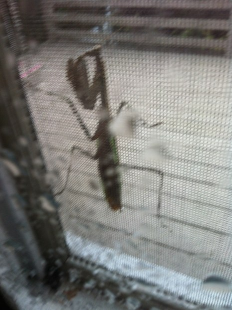 A praying mantis - on the window screen at Faye's while we warmed ourselves indoors