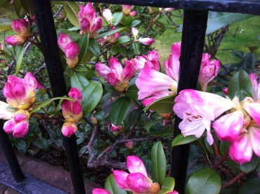 opening rhodies at a garden wall