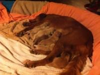 Sullivan and pups