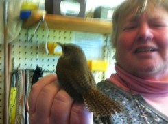 See the wren's tail feathers