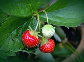 Berries, una cortina de humo en la tierra de colores