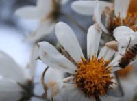 La abeja melífera mejor polinizador de aguacate