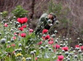 Ejército localizó y destruyó más de 373 mil plantas de amapola en Tuxcacuesco