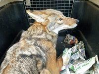 Liberan a coyote en Tuxpan