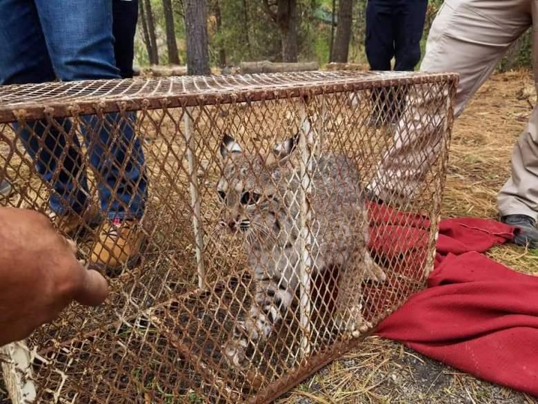 Liberan linces, coyote y zorra gris en el Nevado de Colima