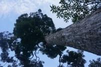 Riesenbäume im Gunung Kawi Tempel