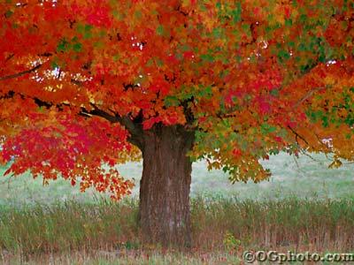 autumnmaple1.jpg