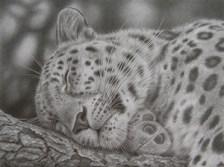 leopardsleeping