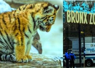 Tigre en Nueva York da positivo por coronavirus