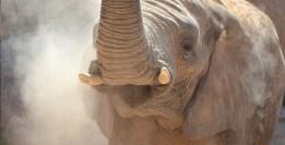 Pablo Marcos M.S. / Elefante africano [Loxodonta africana] en Bioparc Valencia. Publicado en El último cebro