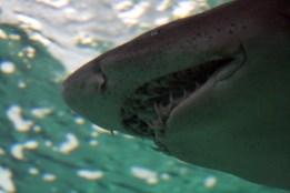 Pablo Marcos M.S. / Tiburón en Zoo Acuarium Madrid. Publicado en El último cebro