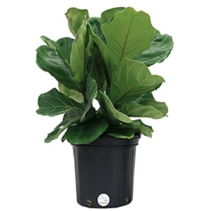 Fiddle Leaf Fig Grower Pot from Costa Farms