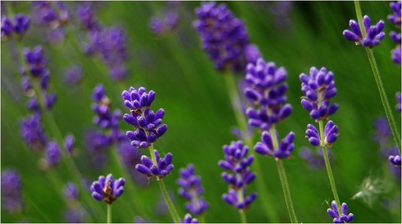 The Tranquility Herb: Lavender Magical Properties and Uses — Magical Herbs